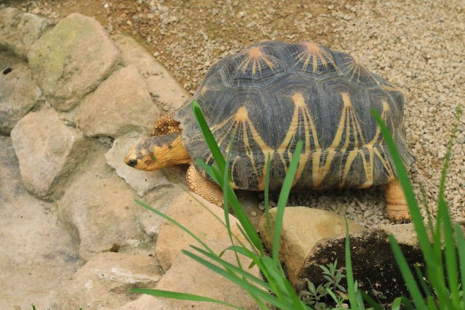 Turtle 🐢 Reptile Tortoise Animal Wildlife One Animal Animals In The Wild Tortoise Shell Animal Themes Day Nature Outdoors No People Close-up Turtle Zoo