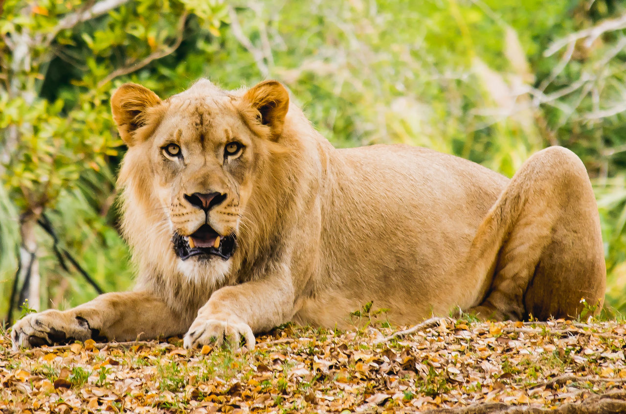 Amazing Animal Animals Beauty In Nature Captivity Cat Day Lion Nature Nature Photography Nature_collection No People Orange Color Predator Sunshine Wild Wildlife Wildlife & Nature Wildlife Photography Zoo