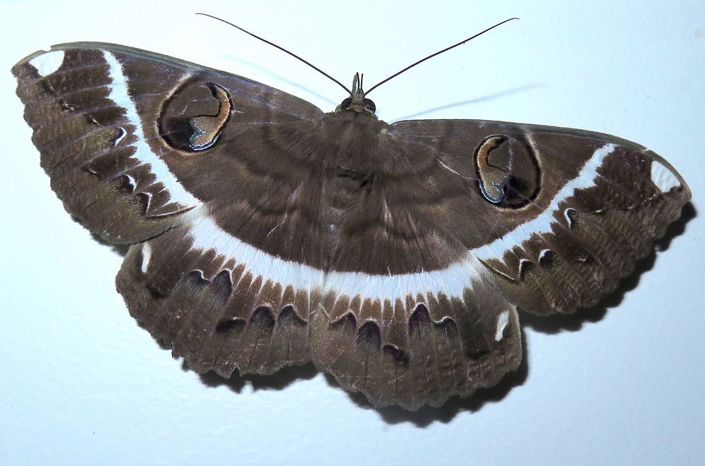 3D In Nature Erebus Moth Macro Photography The Philippines Antipolo Beautiful Insects Big Moth Eye Wing Patterns