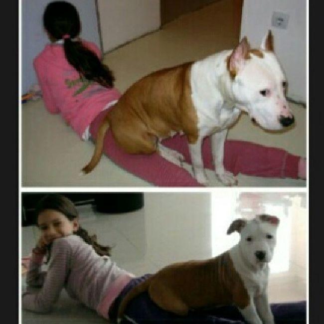 Amstaffy Bullybreedapbt Insta_dog Then &now