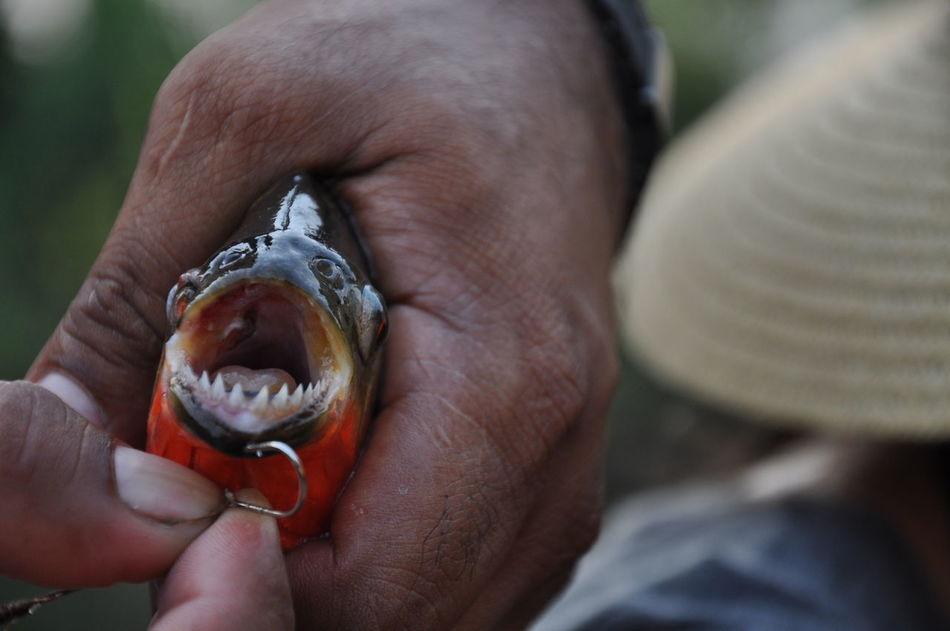 Amazon Amazonas Amazonas-Brasil Beauty In Nature Brazil Catch Of Fish Fish Fishing Hand Holding Human Hand Nature Piranha Piranhas Predatory Fish Rainforest South America Teeth Animal Themes