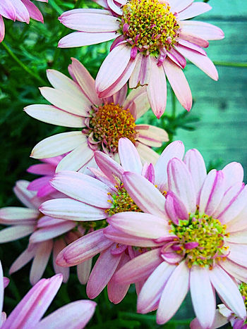 African daisy flowers African Daisies Beauty In Nature Biology Botany Close-up Daisy Filtered Image Fresh Flowers In Bloom No People Osteospermum Outdoors Petals Phone Camera Pink Textures Vertical