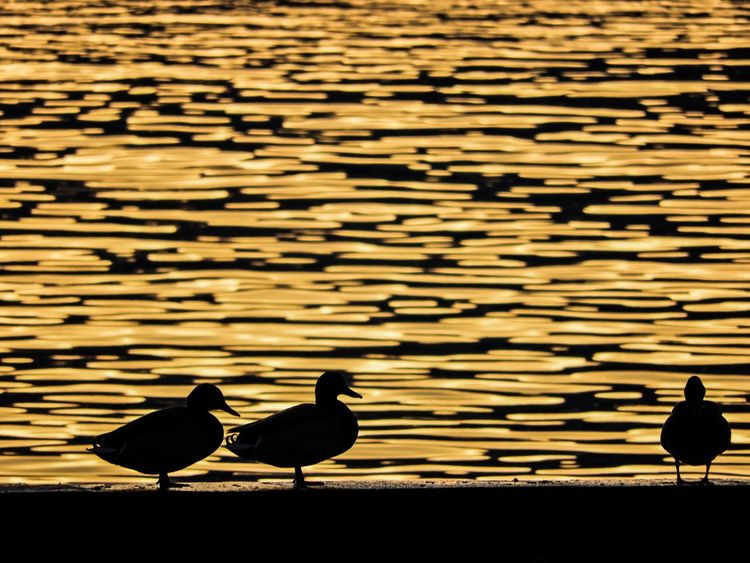 Ducks... Ciani Park Nikon COOLPIX B700 Lugano Lake December Ducks Gold Water Golden Hour Bird Animals In The Wild Animal Themes Animal Wildlife Silhouette Nature Perching No People Outdoors Water Day
