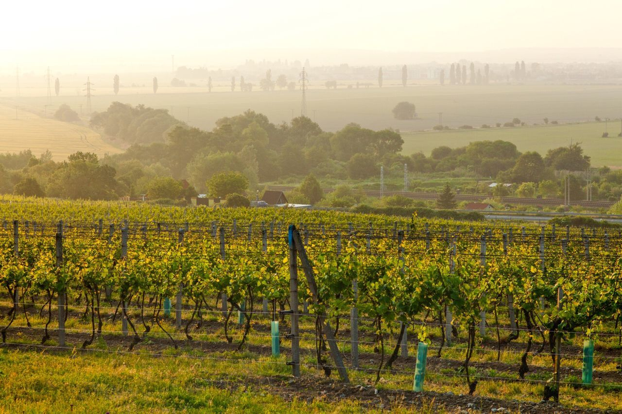 Vineyard Landscape Slovakia Morning Spring Nature Sunrise Agriculture Green Sunlight Grape Vine Sun Outdoor Cultivated Land