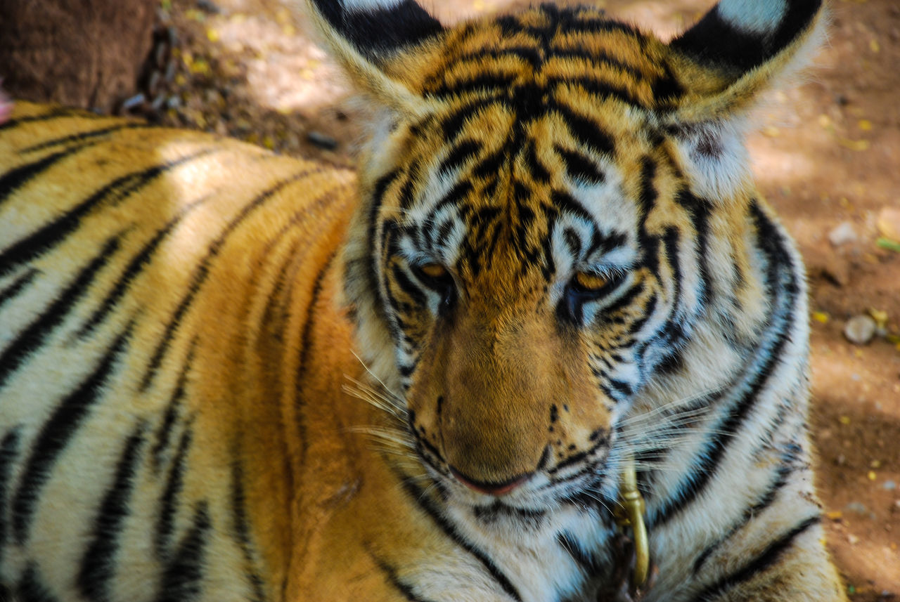 animals in the wild, animal themes, tiger, one animal, animal wildlife, day, animal markings, no people, outdoors, close-up, mammal, nature, leopard