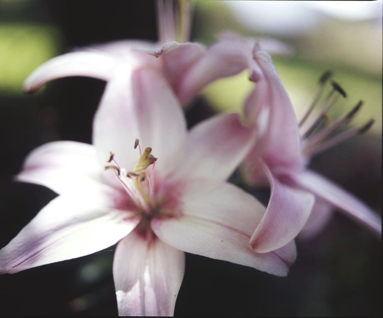 Mamiya RB67 Medium Format Velvia100 Filmisnotdead Nature Flower Botanical