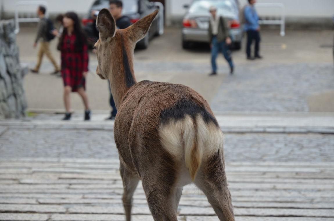 Day Deer Focus On Foreground Mammal Nara Nara,Japan Selective Focus Toudaiji 奈良公園 奈良県 鹿