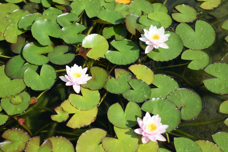 Leaf Water Lily Flower Freshness Growth Fragility Lotus Water Lily Pond Floating On Water Petal Beauty In Nature Plant Flower Head Water Green Color Green Nature Simplicity Blossom Growing