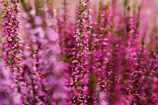 Autumn Beauty In Nature Bloom Blooming Blossom Botany Close-up Day Flower Flower Head Flowering Plant Focus On Foreground Fragility Freshness Growth In Bloom Lavender Lavender Colored Nature Petal Plant Purple Scenics Selective Focus Softness