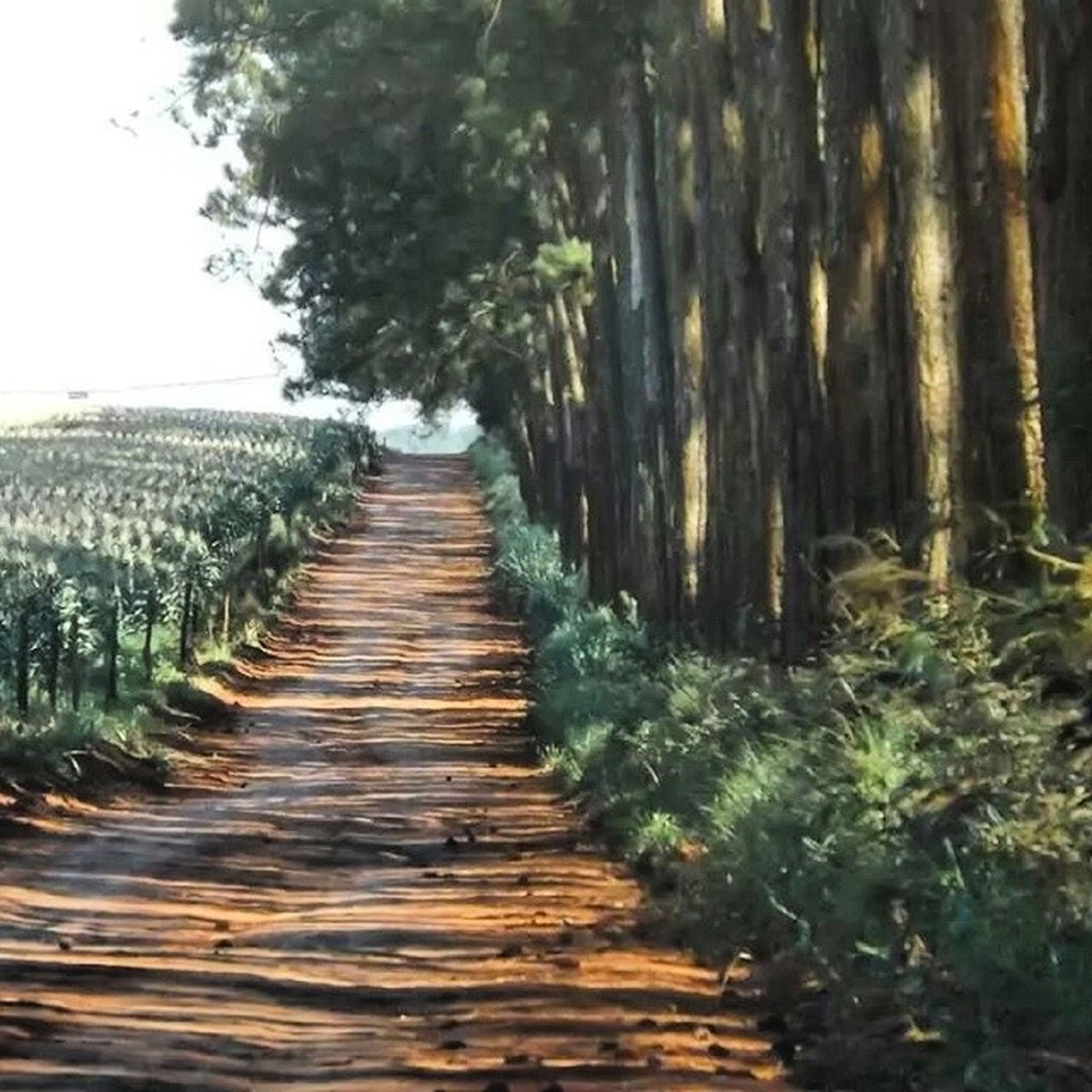 the way forward, tree, diminishing perspective, tranquility, tranquil scene, vanishing point, nature, growth, footpath, walkway, pathway, narrow, beauty in nature, scenics, wood - material, in a row, forest, plant, long, green color