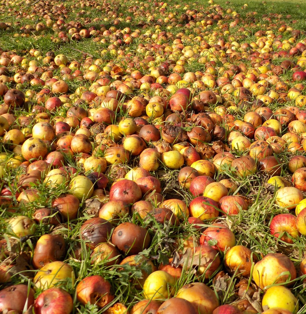 Abundance Apples Food Fruit Full Frame Large Group Of Objects No People Outdoors Wind Fall