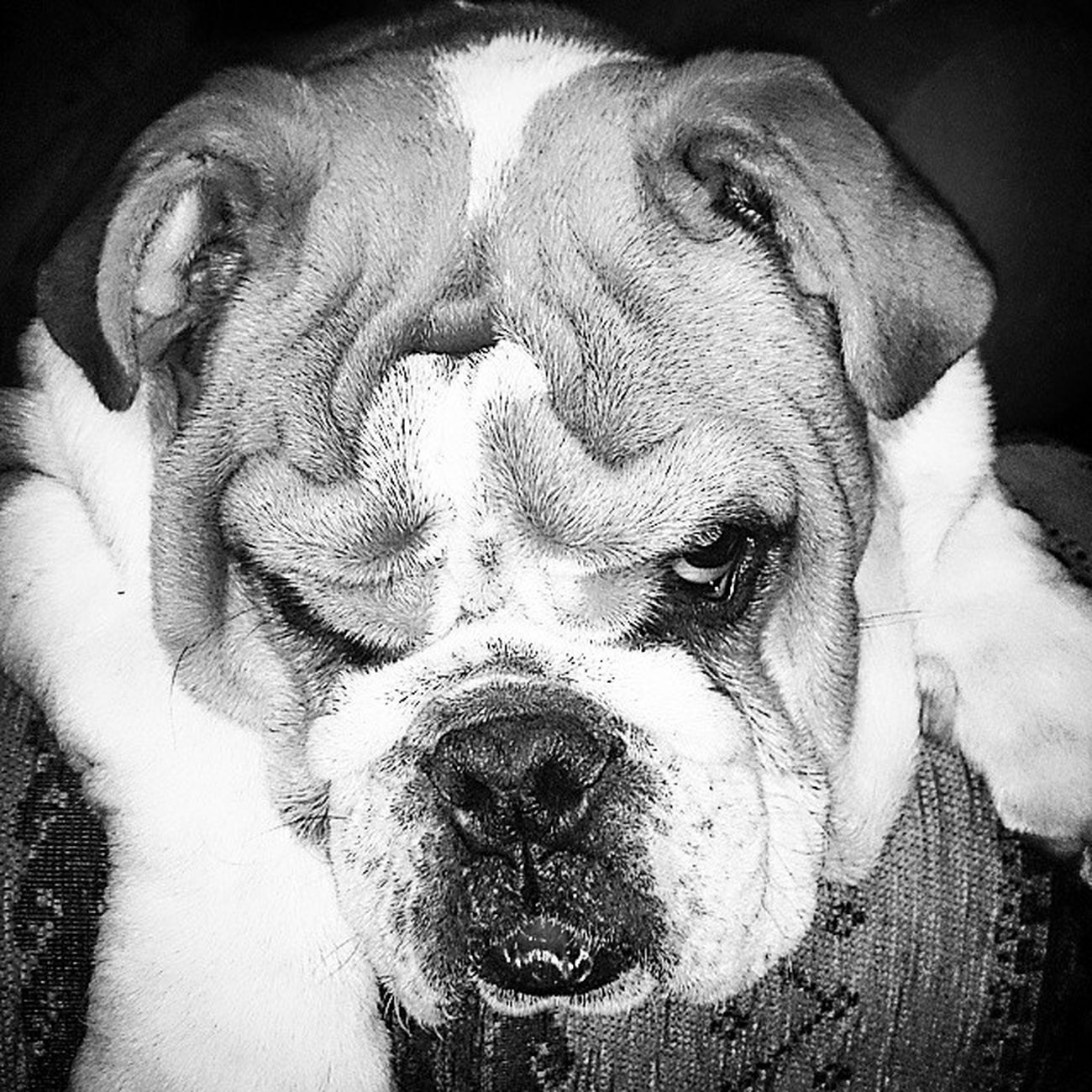 Not impressed for me leaving him with the parents. Turbo Bulldog Lovethisdog Love Dog SadPanda