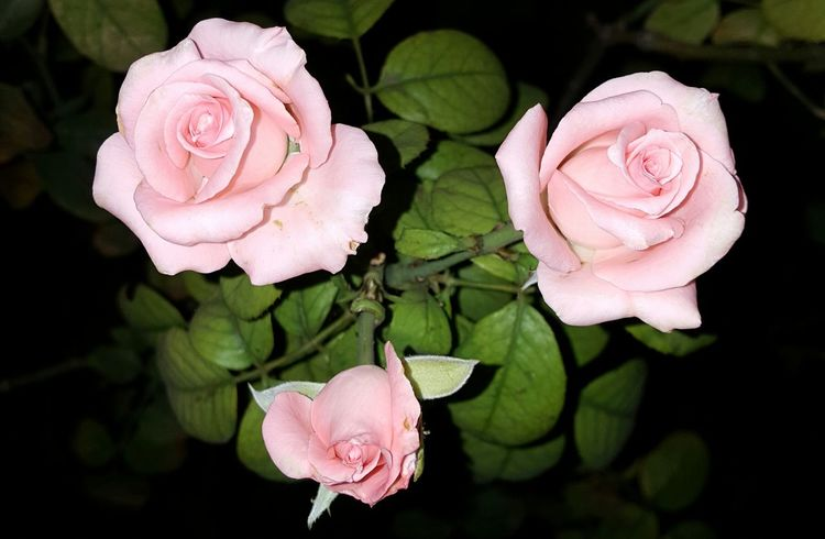 Rose Flower Pink Flower 🌸 Roses🌹 Three Roses Pastel Colors Night Photography Garden Flowers Relaxing EyeEm Garden Photography Samsung Note 5 Duos Baby Pink