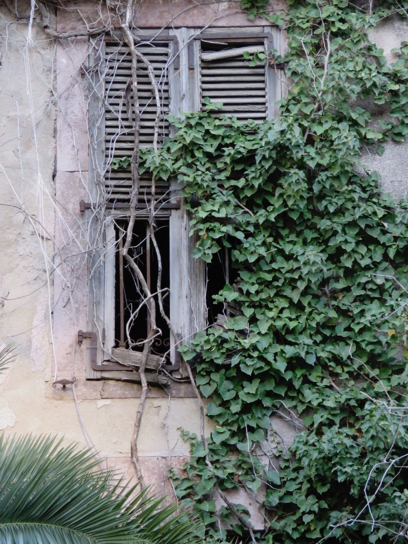 Ivy Wall IvyHouse Old Buildings Eski Pencere Sarmaşık Palmiye Duvar Ev EyeEm Gallery OpenEdit Winter Suny Day Taking Photos Check This Out EyeEm Nature Lover EyeEm Best Shots Urban Urban Geometry Window Ivy Leaves Palm Green Wall Ivy