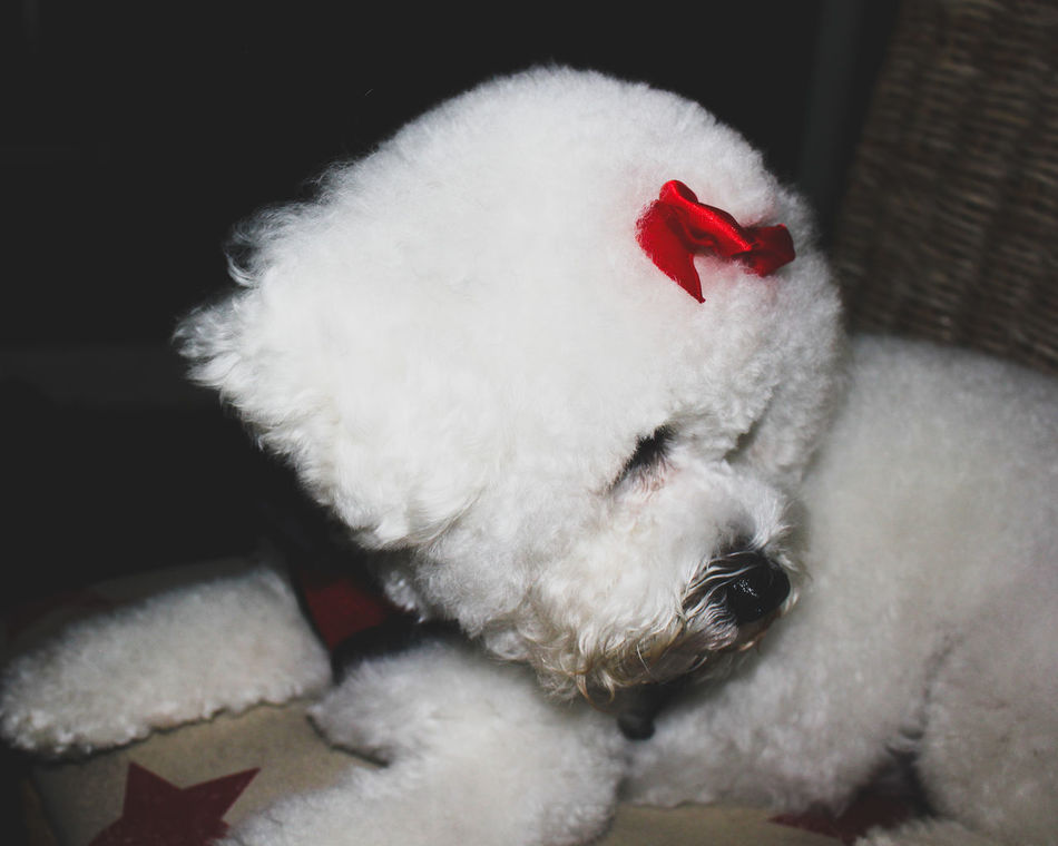 Animal Themes Bichon Bichon Frise Bichonfrise Canine Close-up Day Dog Domestic Animals Furry Friends Indoors  Mammal No People One Animal Pet Pet Photography  Pets Red White Color