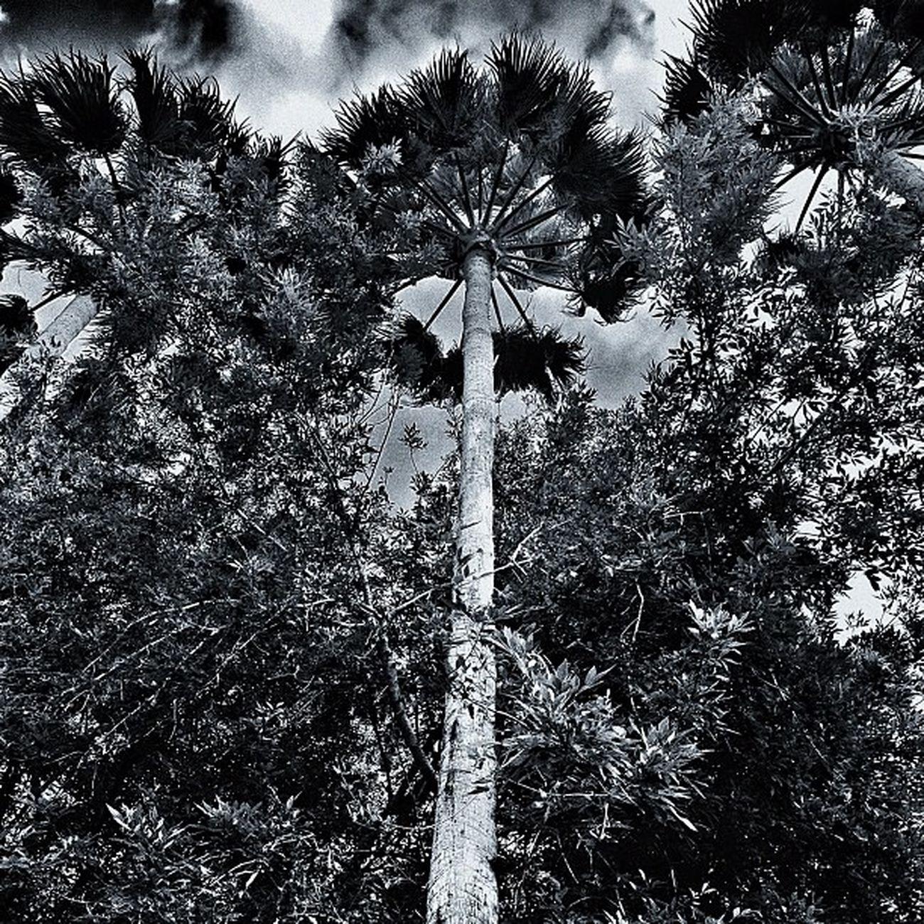 Palm Trees outside my house Palmtrees Mcallen Rgv Blackandwhite