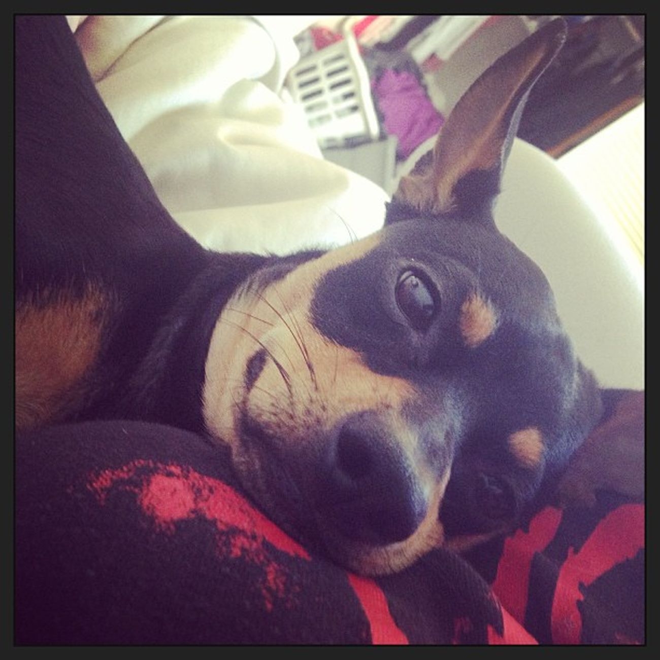 Boobcuddlin Cuddlemonster Cuddlin Korntshirt squishface happypup hunter minpin chihuahua terriermix