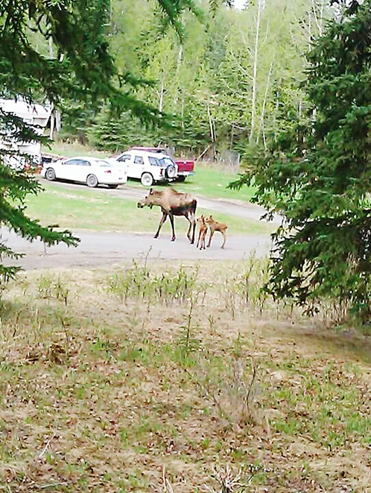 MOOSE MONDAY  Mom And Calf Out For A Stroll