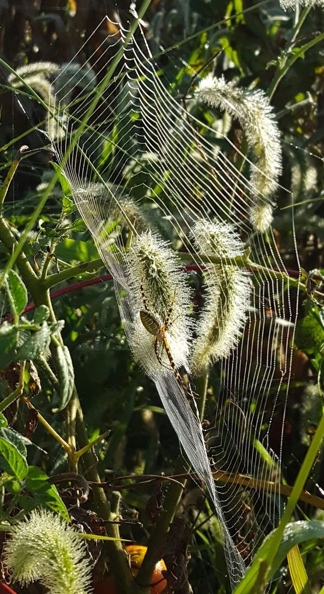 Cob-web Wednesday Garden SpiderThe newest resident of my garden🙈😲😣 Spider Web How Country Feels💞 Capture The Moment EyeEm Gallery EyeEm Masterclass EyeEm Nature Lover Nature On Your Doorstep Home Is Where The Art Is No People Eyeem Rural America EyeEmBestPics Nature Yikes!