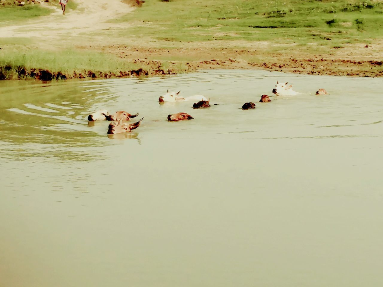 Pond Cows Cows In Water Only Head Visible Perfect Timing In A Line Animal Photography Natute_collection EyeEm Gallery Check This Out