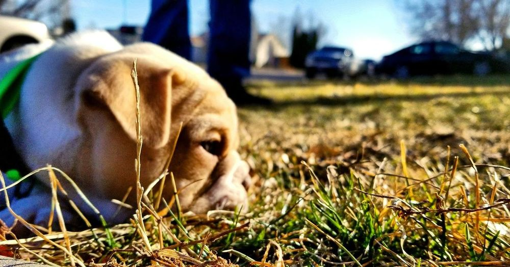 Bulldog #puppy Friends One Animal Animal Themes Outdoors Day No People Focus On Foreground Close-up Grass Sky Nature Domestic Animals