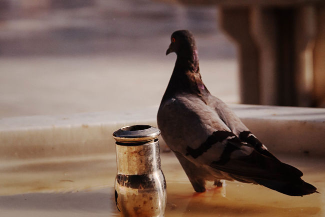 Pigeon Fountain Animal, At, Background, Beak, Bird, Close-up, Cut, Grey, Head, Headshot, Homer, Homing, Isolated, Looking, Pigeon, Pioneer, Portrait, Profile, Shot, Side, Studio, Vertebrate, View, White, Wild, Wildlife Close-up Day Focus On Foreground Nature No People Outdoors Refreshment Selective Focus Sky