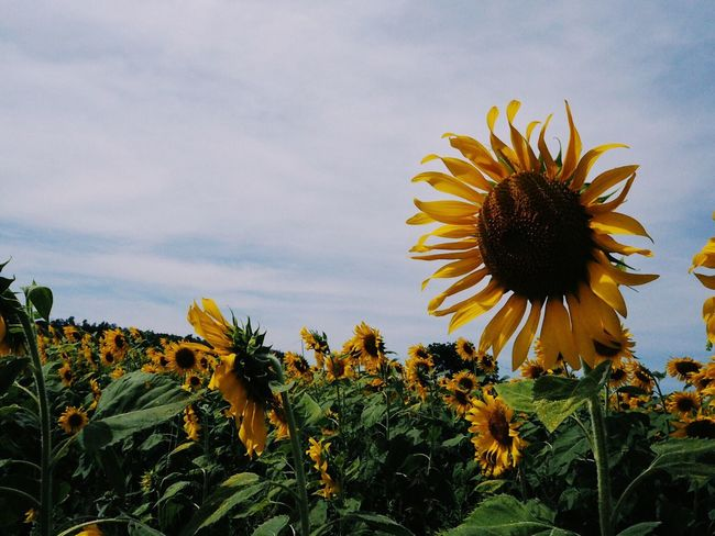 Flower Fragility Growth Petal Flower Head Freshness Nature Plant Beauty In Nature Yellow Blooming Sunflower Field Day Pollen No People Outdoors Sky Coneflower Black-eyed Susan