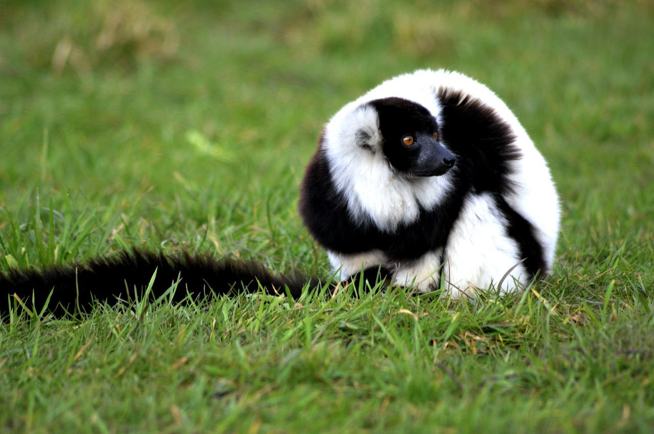 Black And White Ruffed Lemur On Grassy Field