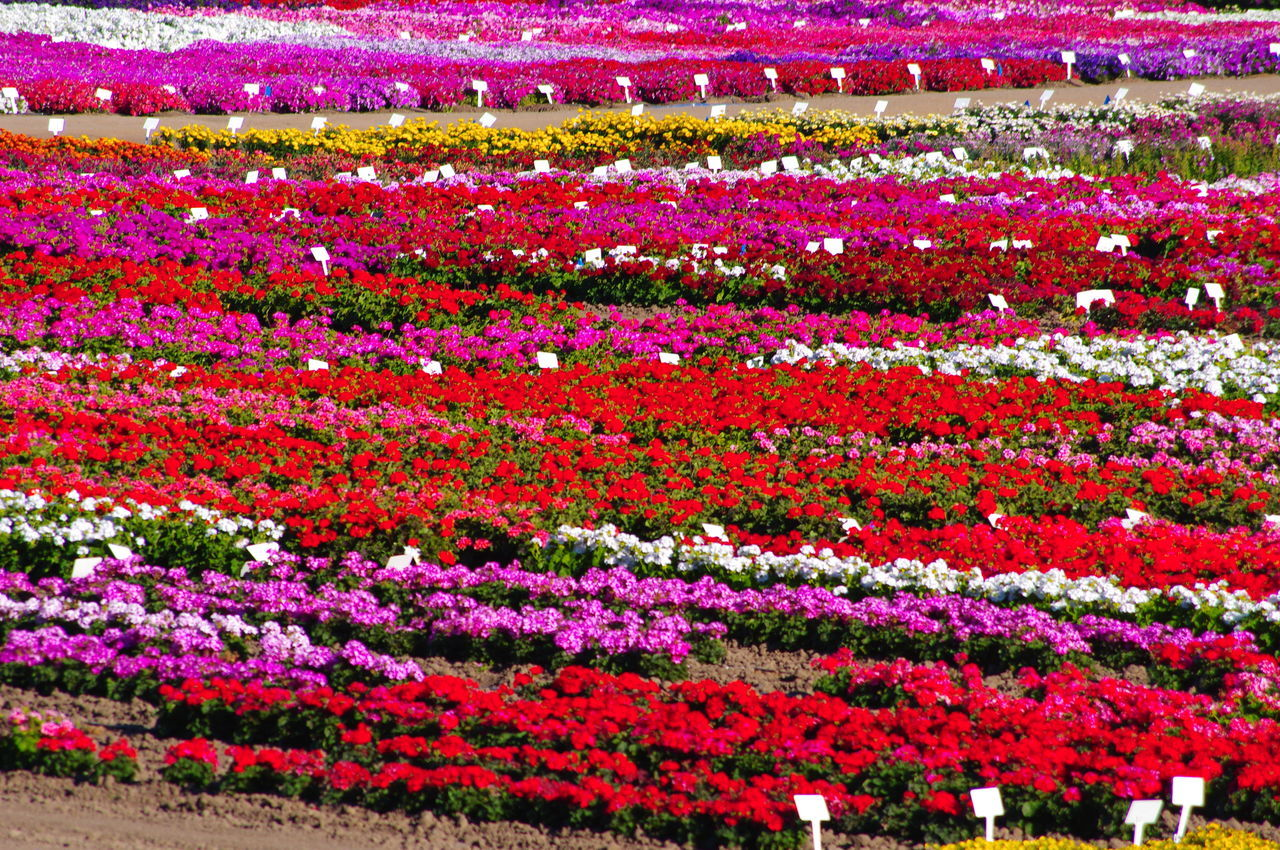 Backgrounds Beauty In Nature California Crop Close-up Day Floral Floral Pattern Flower Flower Field Flower Fields Flower Head Freshness Full Frame Growth Nature No People Outdoors Seeds Flower