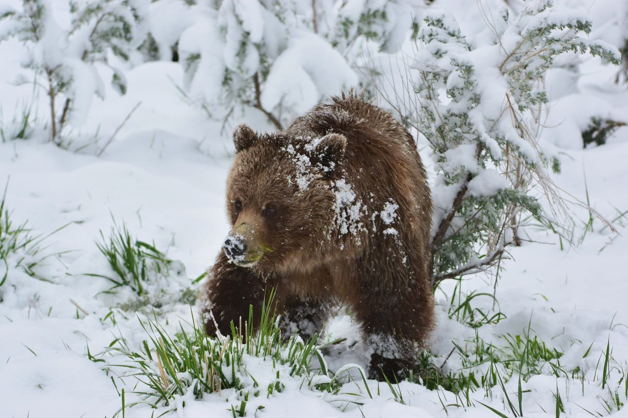"""Okay Okay I get it """"Not o close d*mnit Sioxie"""".... Animal Wildlife Animals In The Wild Bear Bear Cub Bears Cold Temperature Grizzlies Vs Lakers Grizzly Grizzly And Cub Lamar Valley Mama Grizzly Ursus Arctos Ursus Arctos Horribilis Young Grizzly"""