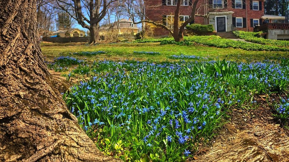 Spring Into Spring Spring Flowers Flowers Green Ground Groundcover Gloryofthesnow Luciliae Chionodoxa