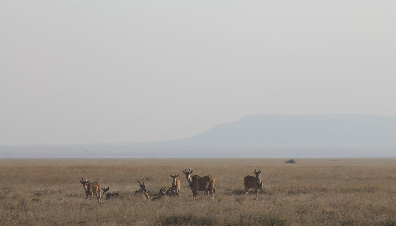 Eland Antilope Gazelle Serengeti National Park Taurotragus Oryx Animals In The Wild Antelope Antilope Common Eland Safari Safari Animals Serengeti