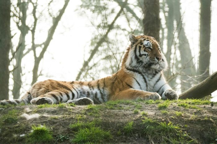 Animals In The Wild Animal Themes Mammal One Animal No People Day Feline Tiger Mammals Nikon Nikonphotography Port Lympne Kent Endangered Species The Great Outdoors - 2017 EyeEm Awards