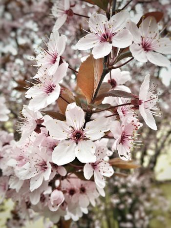Nature Tree Growth Flower Branch Fragility White Color Beauty In Nature Pink Color Springtime Blossom Flower Head Outdoors Cherry Tree Cherry Blossom
