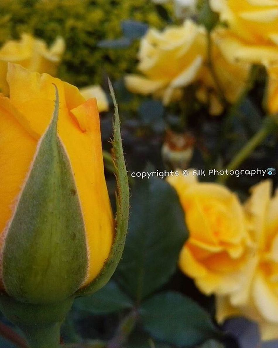 Yellow Rosé Photography Flower Follow4follow R1kphotography