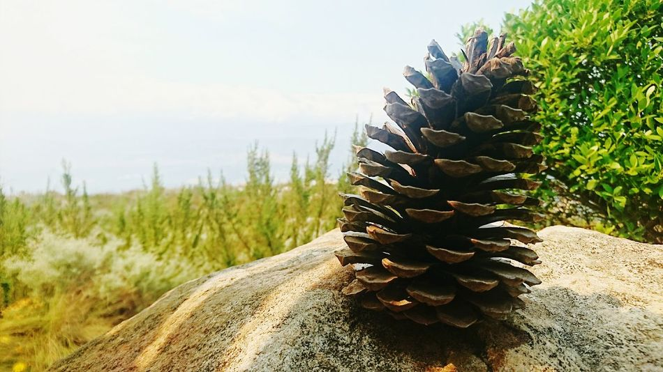 Pinaceae Nature Plant Pine Cone Rural Scene Outdoors Growth Scenics Landscape No People Beauty In Nature Needle - Plant Part Day Hikingadventures