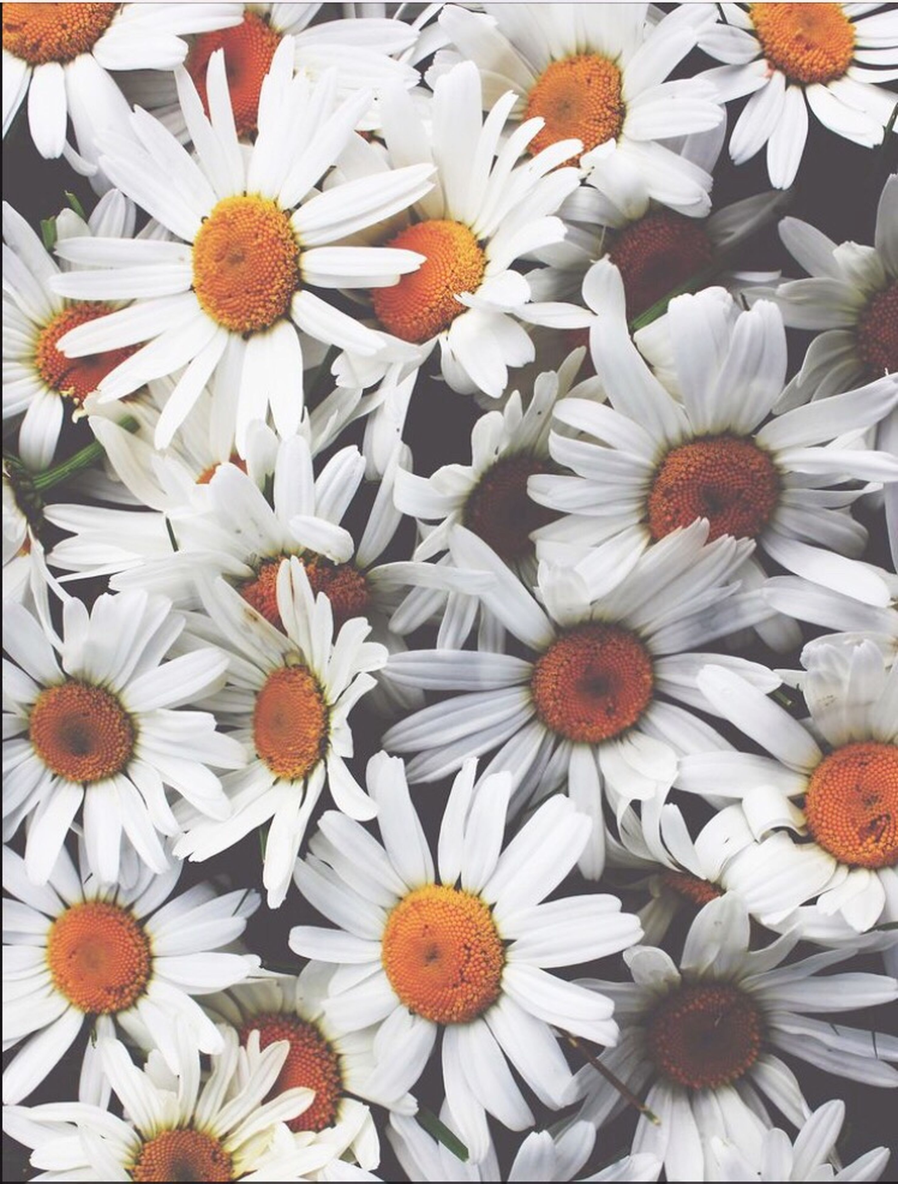 flower, freshness, petal, fragility, flower head, beauty in nature, white color, high angle view, blooming, daisy, nature, abundance, growth, pollen, indoors, plant, close-up, full frame, no people, in bloom
