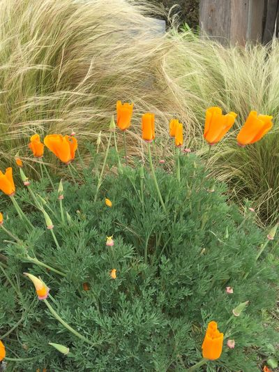 Blooming Califoria Poppies California Change Close-up Flower Flower Head Fragility Freshness Growth Petal Poppies  Red Springtime