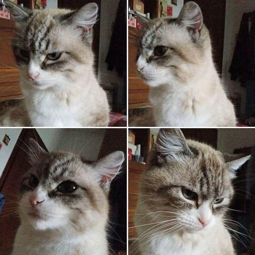 Luna Mylove Mycat LeChat Cat Miao Meow Gatta Nasinorosa OcchiBlu Champagne Orecchiette Catsofinstagram Espressione Zampette Beautiful Lovely Lovelycat Occhioni Kitty