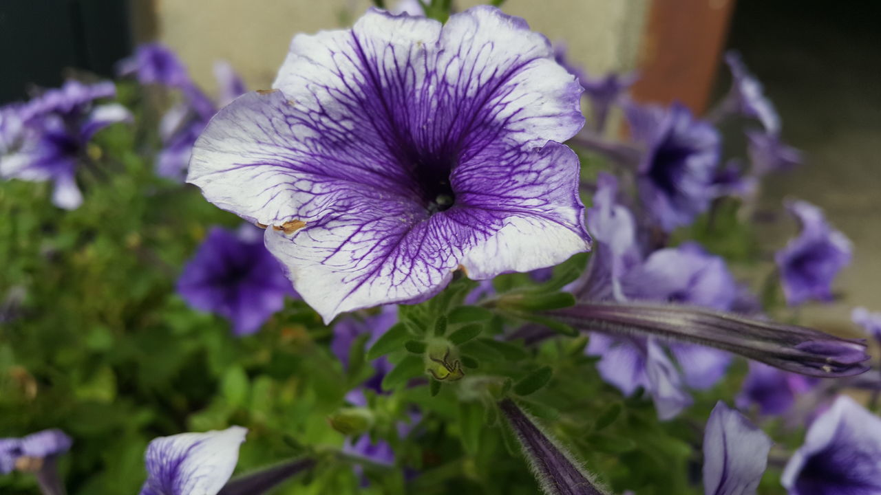 flower, purple, petal, nature, fragility, growth, beauty in nature, flower head, plant, no people, freshness, focus on foreground, close-up, day, outdoors, blooming, petunia