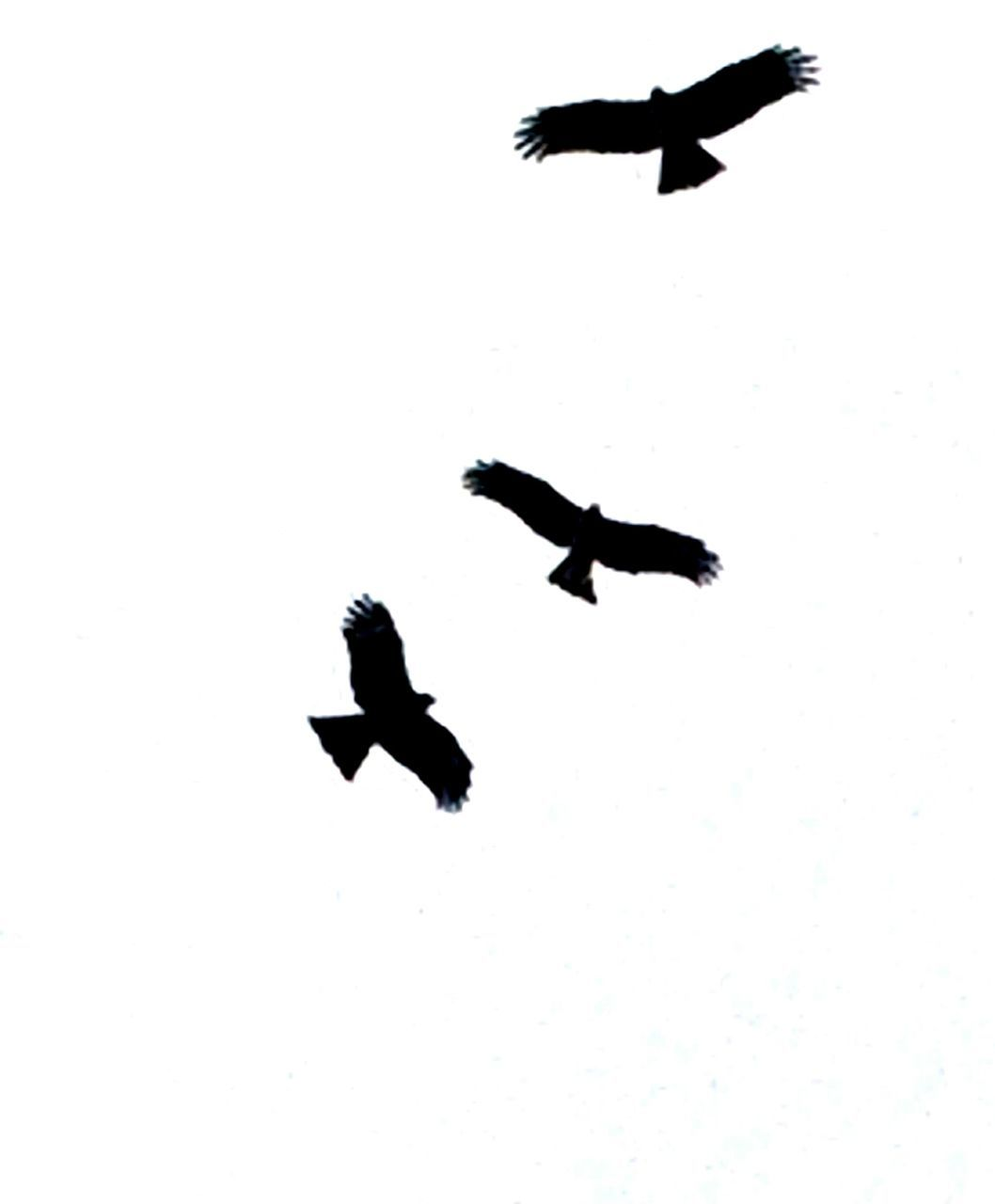 flying, bird, spread wings, mid-air, animal themes, animals in the wild, wildlife, low angle view, clear sky, silhouette, flight, freedom, motion, nature, on the move, seagull, copy space, sky, outdoors, no people