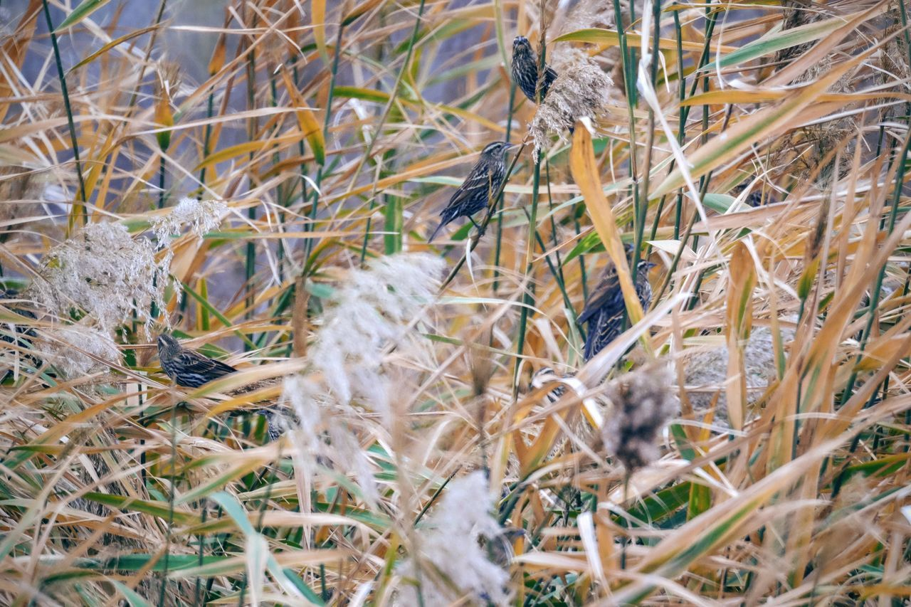 Photo essay - A day in the life. Platte River Grand Island, Nebraska November 6, 2016 A Day In The Life America Animals In The Wild Bird Birds Camera Work Close-up Eye Em Nature Lover Eye For Photography Grassland Growth MidWest Nature Nebraska Nikkor 500mm F8 On The Road Outdoors Photo Diary Photo Essay Road Trip Sparrows Storytelling Travel Photography Vesper Sparrow Visual Journal