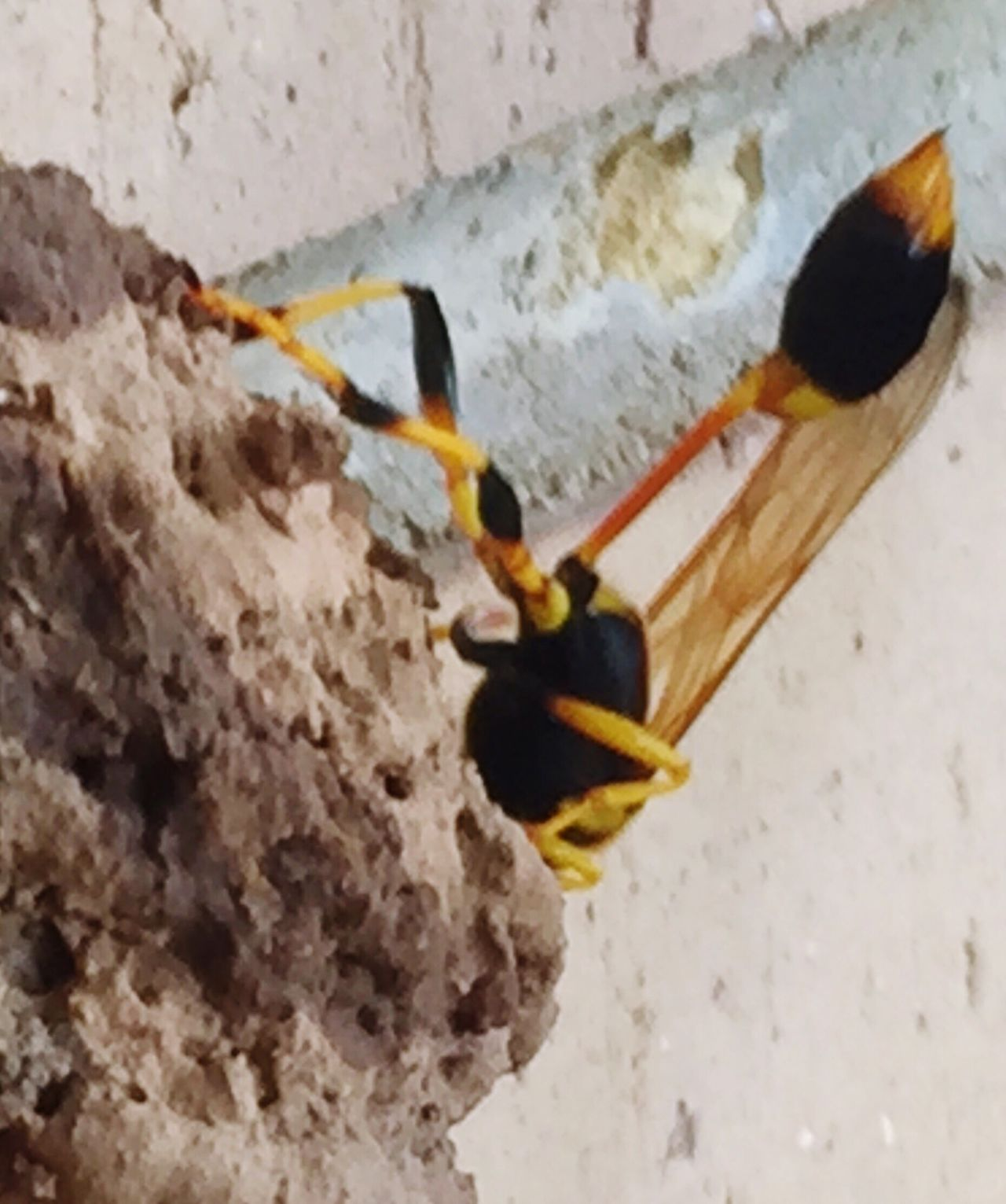 Macro Beauty Wasp Black And Yellow  BANDED  Insect Sting Mud Nest Wasps Nest Wings Nature_collection Six Legged Fascinating