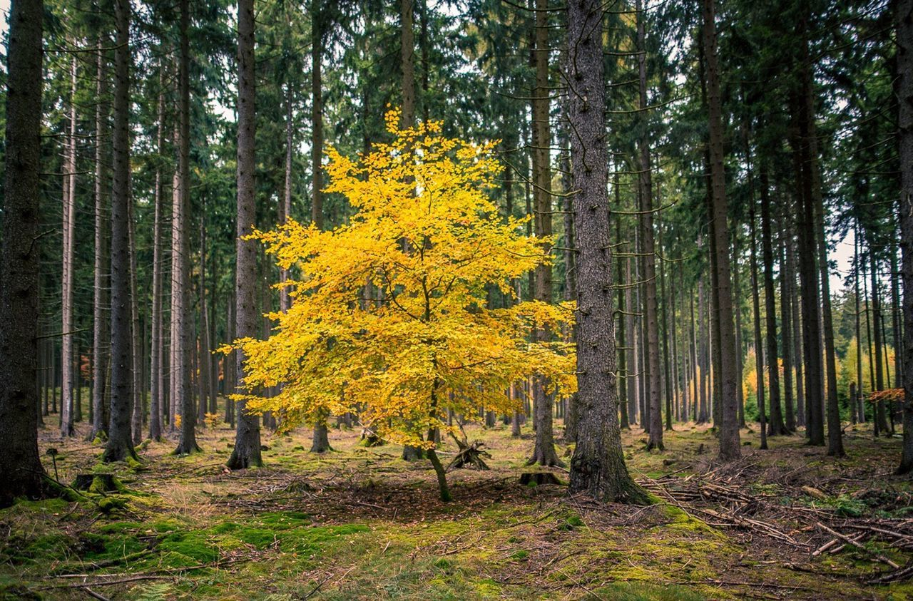 Tree Forest WoodLand Nature Autumn Yellow Growth Change Tree Area No People