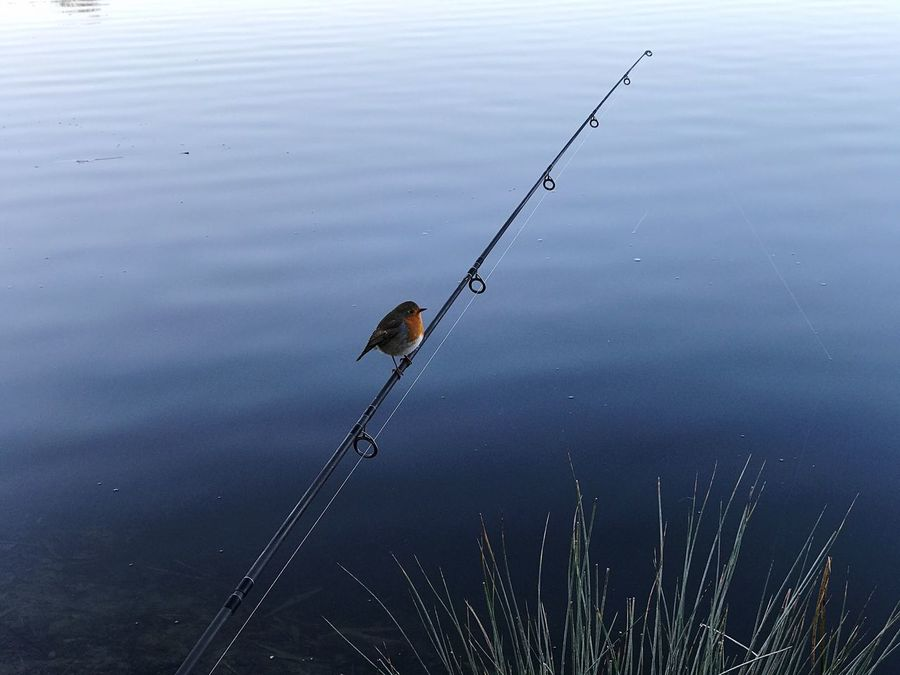 Water Lake Grass Animal Themes Tranquility Nature Animals In The Wild Outdoors No People Day Robin Redbreast