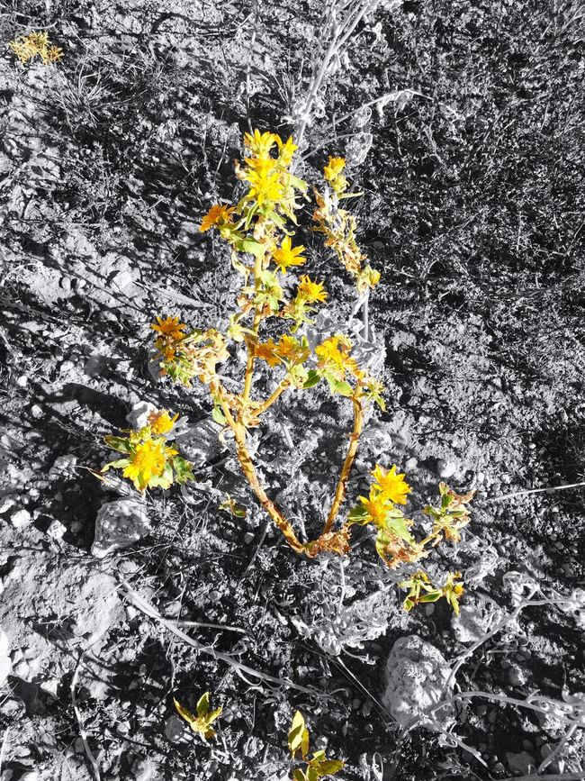 """My Carefully Colored Spot"" Remaining color in wild Daisies before Winter steals it away. EndofAutumn Daisies Wintercoming Selective Color Selectivecoloring Blackandwhite Blackandwhite Photography Spotcolor Myfrontyard"