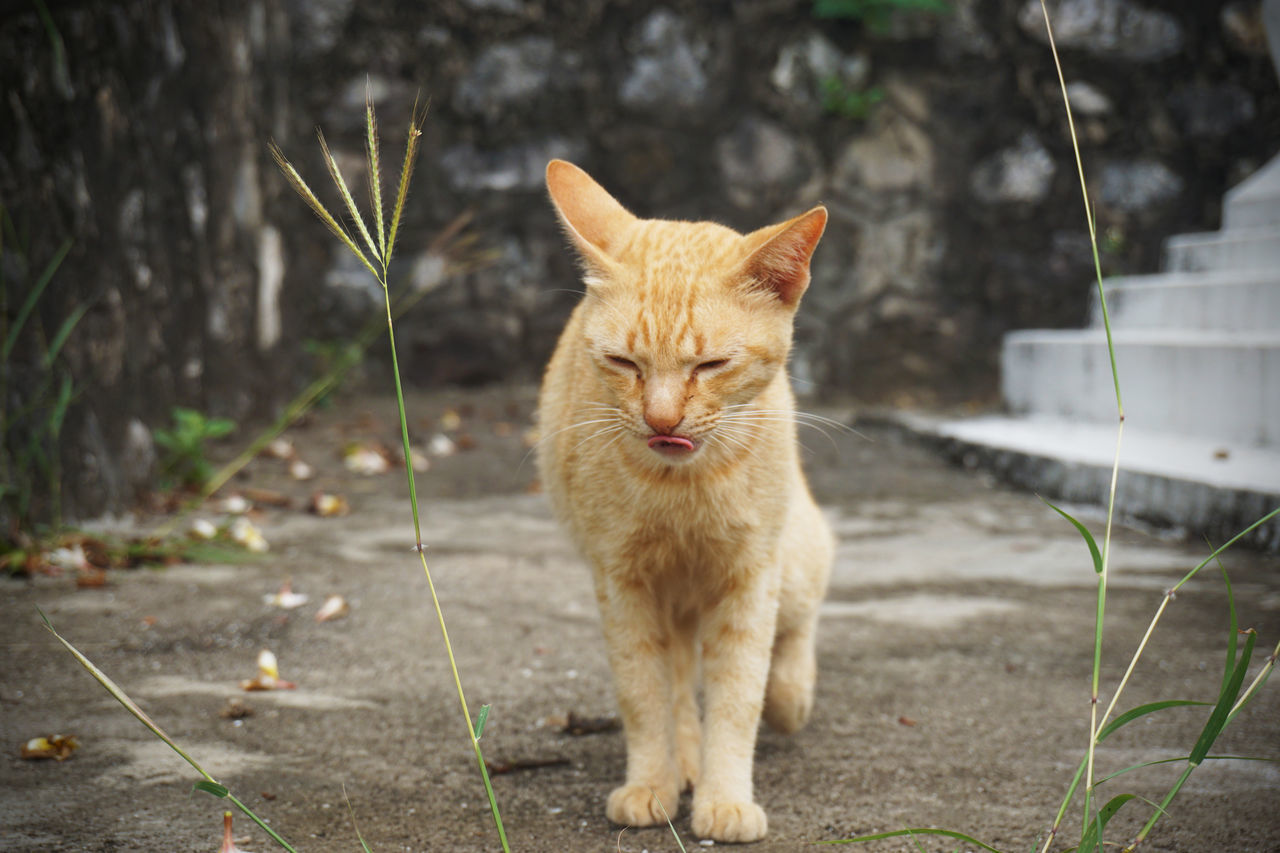 domestic cat, animal themes, feline, domestic animals, mammal, pets, one animal, portrait, looking at camera, focus on foreground, outdoors, no people, day, sitting, ginger cat