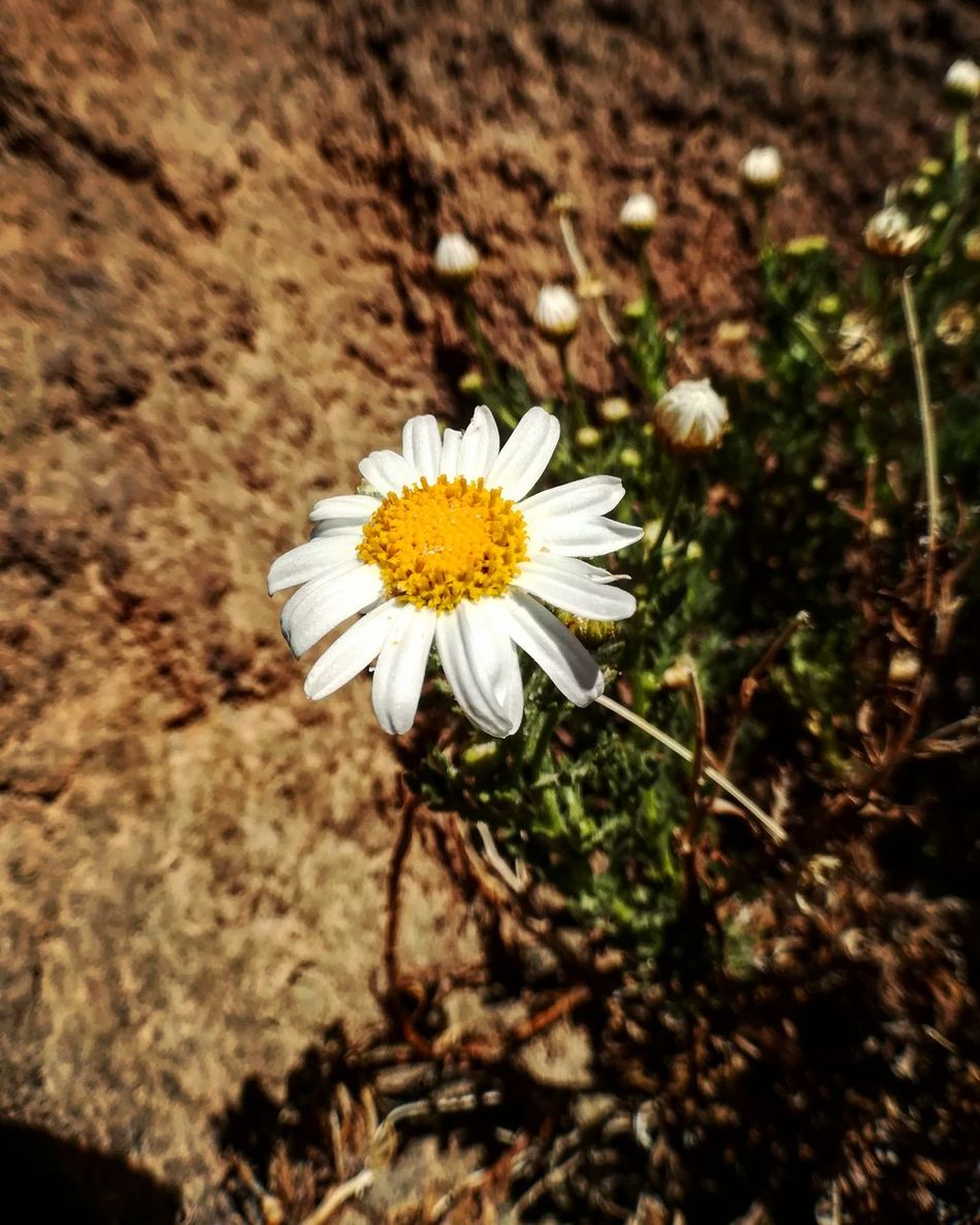 Flower Nature Fragility Beauty In Nature Flower Head Growth Petal Freshness Blooming Plant Outdoors No People Pollen Day Close-up Teide 2017 Teide National Park Pic Teide Volcano Tenerife Vacance España Picoftheday Travel Destinations