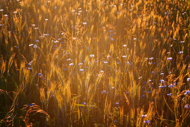 a cornfield in the evening light Blue Bright Cornfield Cornflowers Ecology Evening Light Field Fieldscape Glow Landscape Mazury Meadow Plants And Flowers Poland Rural Sunlight Vibrant Color Warm Wheat Field