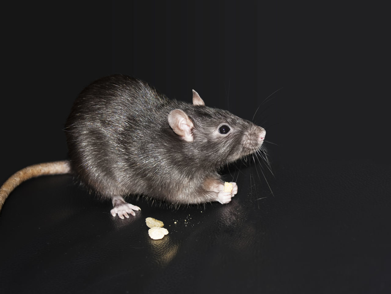 A very cute rat eating a treat. Animal Themes Black Cute Domestic Animals Eating Pet Rat Rodent